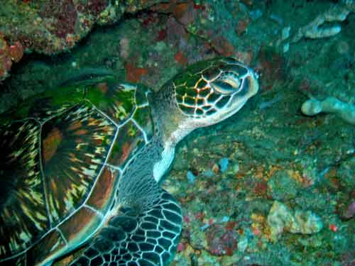 turtle moalboal diving